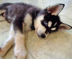 Alaskan Klee Klai. They are tinier, but still so cute!