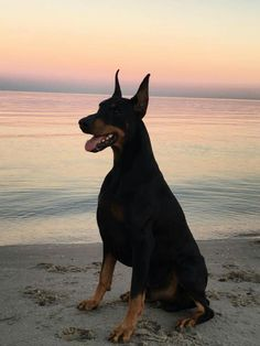 The Doberman Pinscher is among the most popular breed of dogs in the world. Known for its intelligence and loyalty, the Pinscher is both a police- favorite Rottweiler, I Love Dogs, Cute Dogs, Big Dogs, Large Dogs, Small Dogs, Black And Tan Terrier, Animals And Pets, Cute Animals