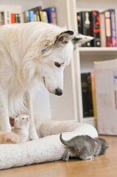 """White Shepherd Dog """"babysitting"""""""