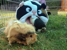 You know what they say about curiosity and piggies!