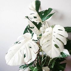 Houseplants That Filter the Air We Breathe Sem Maturidade Para Lidar Com Tanta Beleza Monstera Deliciosa Variegata Por Stekdestadstuinwinkel
