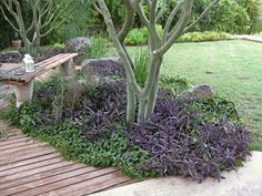 Love the textural and color contrasts in this planting bed. The rounder green leaves with the spikier purple, then the smooth bark - just gorgeous! From mrGSpace Landscape in Phoenix, AZ.