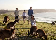 Combine wildlife and wine-tasting on a five-day tour of Adelaide and Kangaroo Island. Visit wineries in the Barossa Valley wine region, take a scenic drive through the Adelaide Hills, and meet sea lions and wallabies on Kangaroo Island. With plenty o Adelaide South Australia, Kangaroo Island, Australia Travel, Australia Honeymoon, Australia Tours, Island Tour, South Pacific, Pacific Ocean, Places Of Interest
