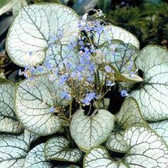 Brunnera macrophylla 'Jack Frost'®