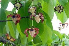 The calabash nutmeg, Monodora myristica
