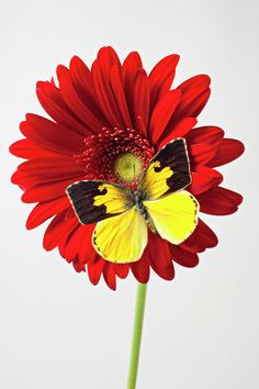 Red Mum With Dogface Butterfly