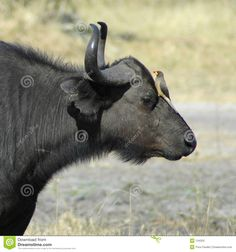 Water Buffalo & Oxpecker Royalty Free Stock Images - Image: 134329