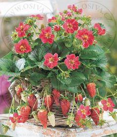 www.osiva.cz - internetový obchod - semena zeleniny, květin, léčivých rostlin - Květiny ŠMAK