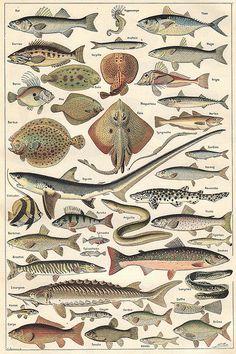 Planche du Larousse Universel en deux volumes, 1922. Plate from the Larousse Universel in two volumes, 1922. Quels sont les poissons de Méditerranée.
