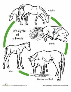 mammal life cycle First Grade Animals Life Science Worksheets: Color the Life Cycle: Horse Many animal life cycles to chose from Science Worksheets, Science Activities, Free Worksheets, Ks2 Science, Sequencing Activities, Life Science, Science And Nature, Star Stable Online, Cycle For Kids