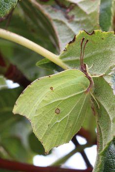Brimstone Butterfly| The Inelegant Gardener: