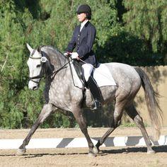 Horses Doing Dressage   Dressage horses – warmblood horses, fresians, trakehners