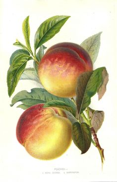 Peaches by Robert Thompson c.1905. Succulent and ripe.