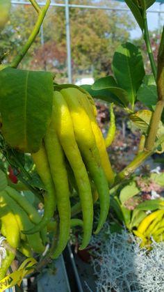 Citrus Mano di Buddha  pianta del cedro utilizzata sia in ambito ornamentale che in cucina.
