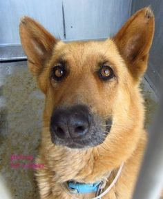 Featured dog of the day - senior German shepherd left at animal control -Petharbor link for Sparky here SPARKY - ID#A4729137 Los Angeles County Animal Control - Baldwin Park at (626) 962-3577 Facebook thread for Sparky at this link Sparky is believed to be nine years of age Ask for information about animal ID number A4729137 Please direct any questions about this dog to the Baldwin Park animal control facility