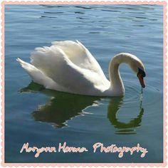 Swan at Lake Eola,  FL