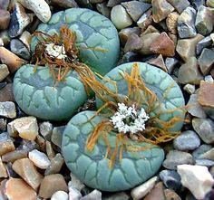 Lithops plant. This is a camouflage plant. No two are alike. They blend with their environment. So cool!
