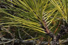 Pin maritime - Pinus pinaster