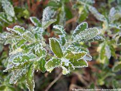 Przymrozek w ogrodzie - Frost in the garden