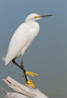 Elizabeth - Snowy Egret - Noodles