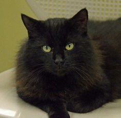 Toby is a 2 year domestic long haired male who is all chill all the time. Just give this boy a place to lounge and he will be right at home.