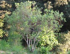 Medium bushy - Acacia Wirilda Retinodes
