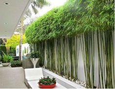200 Pcs Golden Bamboo Seeds, Phyllostachys Aurea Bambusa Textilis Gracilis Plants    100% Real Seeds and Good Quality    Gracilis Bambusa textiles gracilis is our most popular bamboo. It the BEST bamboo available to block out unwanted views, nosey ...