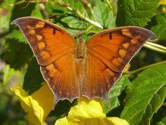 Image from http://www.miriameaglemon.com/photo_gallery/Butterflies/LRGV/LRGV%20Butterfly%20Images/PA281728%20Tropical%20Leafwing%20FSP.jpg.