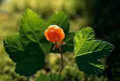Try a cloudberry- only grown in tundra environments, like Norway