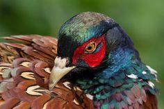 pheasant close up - Google-søk