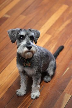 Clive the mini schnauzer