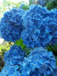 """Beautiful Blue Hydrangea - """"Nikko"""" Does well as long as has steady moisture AND AFTERNOON SHADE! It does need sunshine to bloom correctly but it will burn up in the D/FW sun in the summer."""