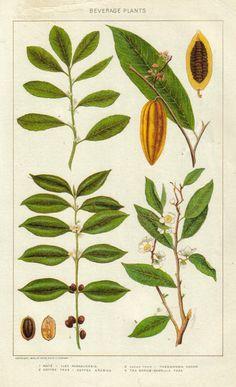 cocoa plant illustration - Google Search