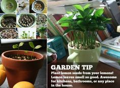 Grow A Lemon Tree From Seeds Video Tutorial | The WHOot