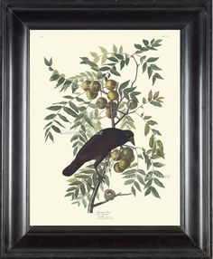 AUDUBON BIRD PRINT 8X10 Art 2 American Crow Antique Beautiful Flowers Fruit Tree Natural Science Home Wall Decor Interior Design to Frame