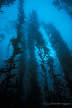 Monterey Bay Kelp Forest  Photo © Kip Evans