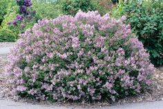 Dwarf Korean Lilac (Syringa meyeri 'Palibin')5' tall 8' wide - perfect hedge.