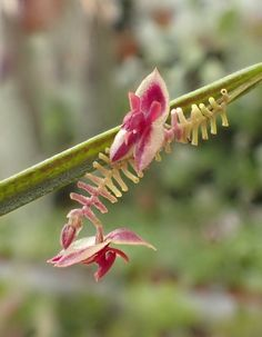 Miniature-orchid / Micro-orquidea: Lepanthes aciculifolia