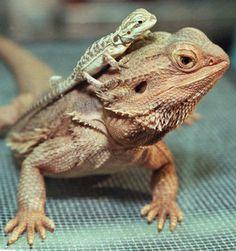 Filhotes são sempre lindos ... Os lagartos pertencem ao grupo de animais chamados répteis e têm o corpo coberto de escamas em lugar de pelos ou de penas. Existem mais de 3 mil espécies, ou tipos, de lagartos. Iguanas, camaleões, lagartixas e os lagartos da família Scincidae são alguns desses tipos.