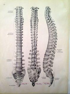 Vintage Anatomy Print - Antique Vertebrae Drawing via Etsy