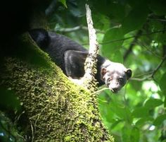 3 of our guests and Guillermo just came back from Corcovado tour excited about spotting this tayra #corcovado #natgeolodges #wildlife #wildlifephotography #osapeninsula #nationalpark #mammals #animalcloseup #spotted #nature #laparios #travel #wanderlust