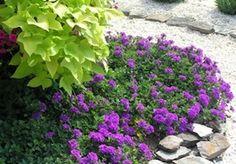 Verbena: Blooms Mar-