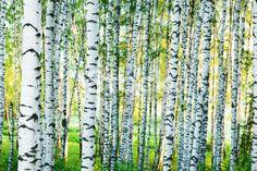 stock-photo-24887089-forest-birch.jpg (380×253)