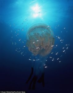 Barrel jellyfish in the North Atlantic Ocean are opaque white colour with purple/blue lobes - and can weigh up to 35k (That's almost 82 pounds!)