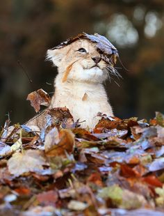 This baby lion cub LOVES fall