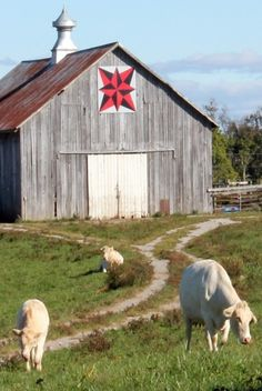 Quilt Barn With Cows Grazing and a quilt block, beautiful--db