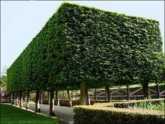 Hidcote Manor - The Stilt Garden 1