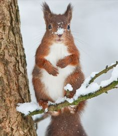 A red squirrel sitting on a snowy tree branch with snow covering its nose.