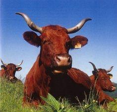 vache rouge flamande