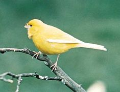 Canary- i have one his name is Chelito!